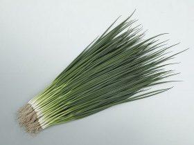 サカタのタネ、濃緑で低温伸長性・肥大性・収量性・作業効率性に優れた小ネギ「菊千代」の種子を営利生産者向け