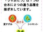 タキイ種苗、接ぎ木苗シリーズ「うりふたつ CFココ&オレンジ千果」